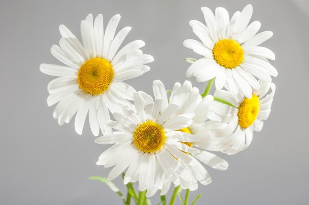 chamomile-flowers